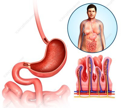 Stomach and intestines, illustration