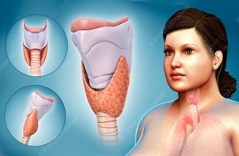 Thyroid cartilage, illustration