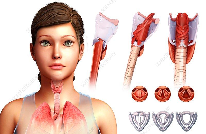 Vocal cords, illustration
