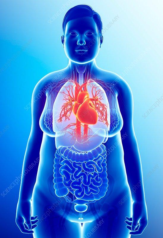 Female heart, illustration