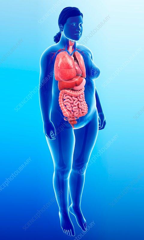 Female internal organs, illustration
