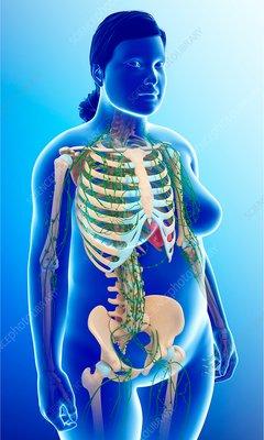 Female lymphatic system, illustration