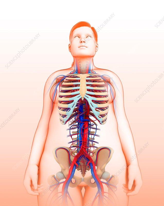 Female circulatory system, illustration