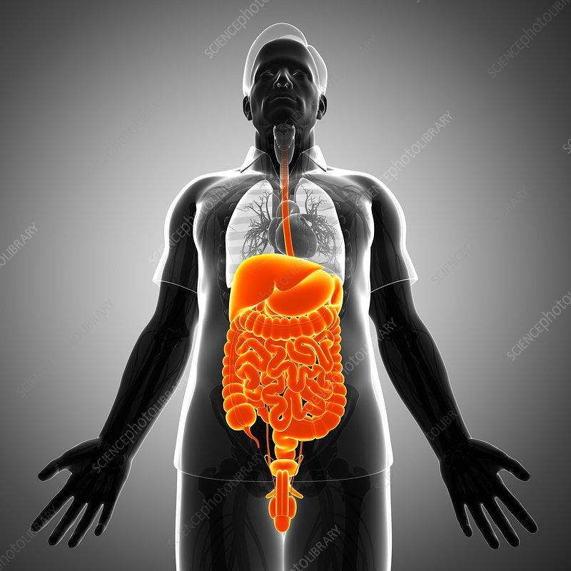 Male digestive system, illustration