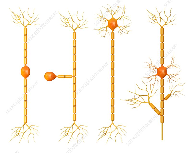 Human brain neurons, illustration