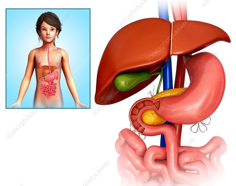 Child's liver and stomach, illustration