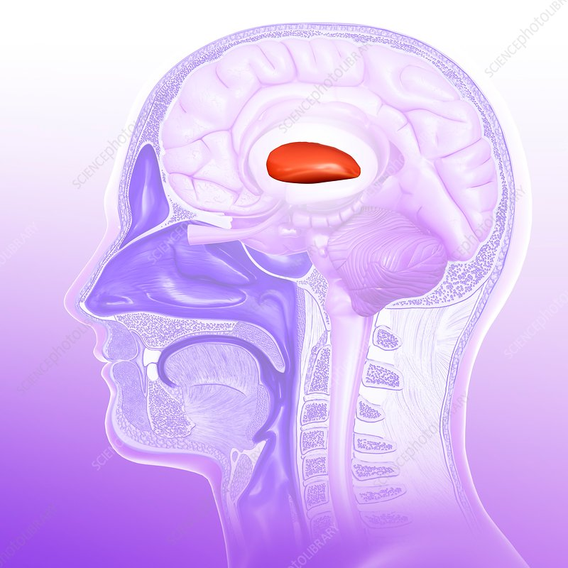 Human brain putamen, illustration