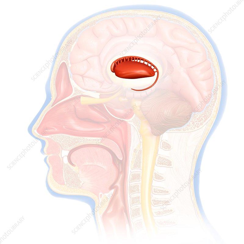 Human brain caudate nucleus, illustration