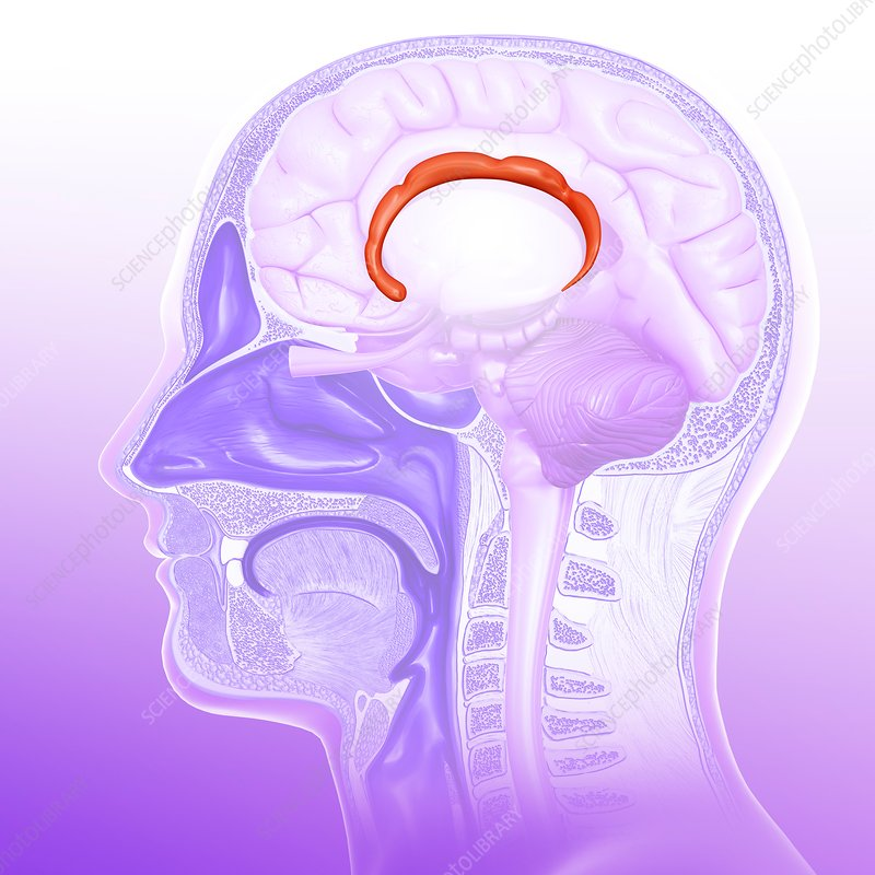 Human brain cingulate gyrus, illustration