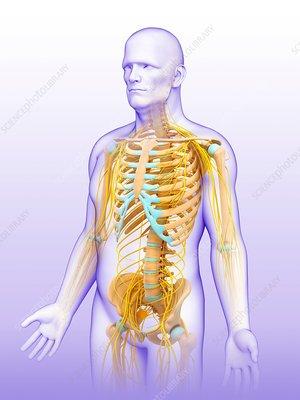 Male nervous system, illustration