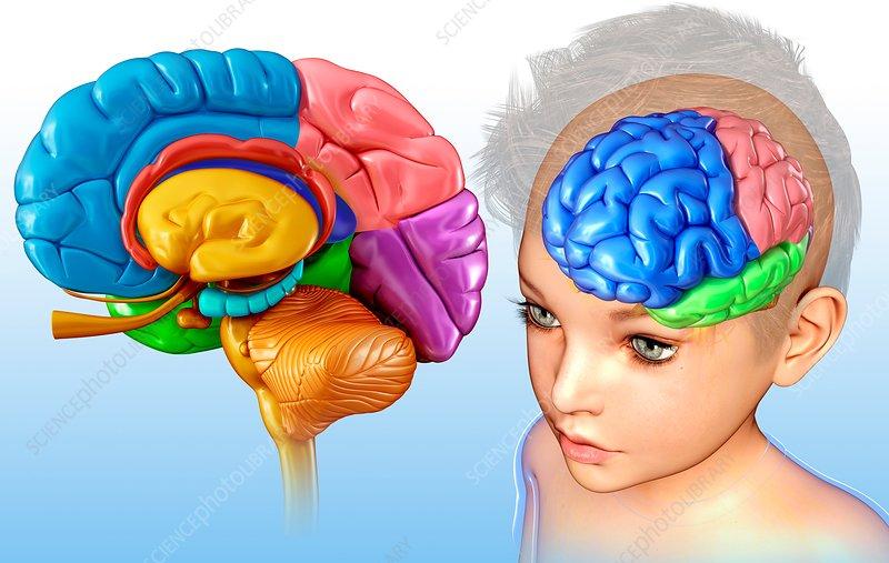 Child's brain anatomy, illustration