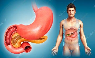 Pancreas and small intestine, illustration