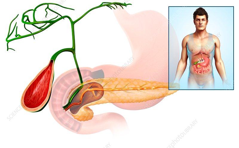 Pancreas and gallbladder, illustration