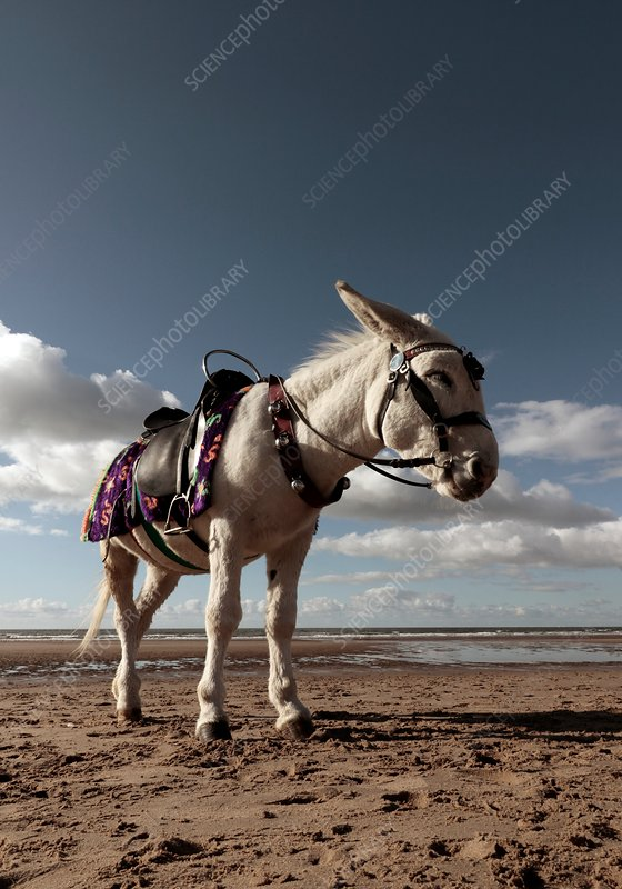 Donkey on beach