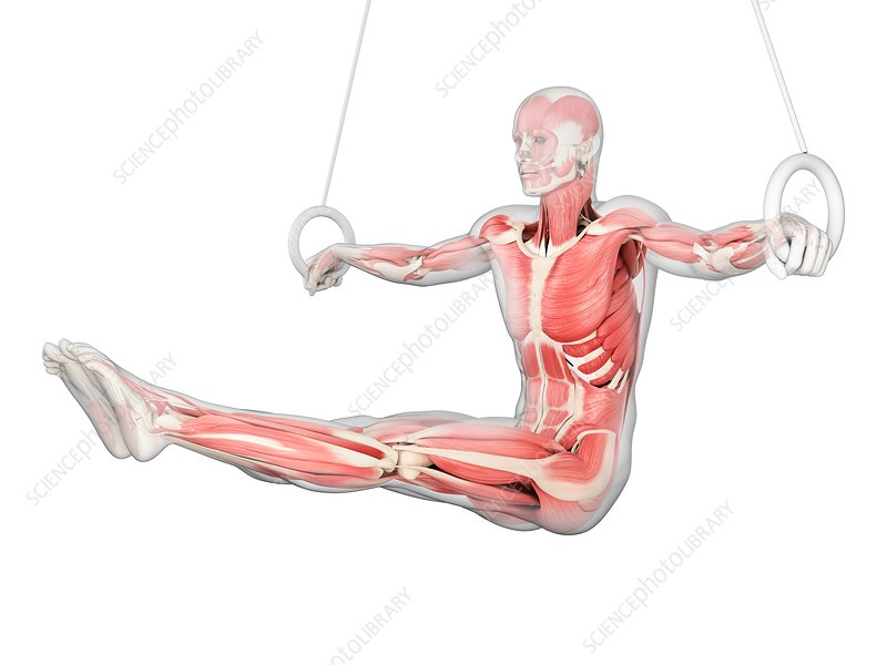 Muscular structure of athlete, illustration