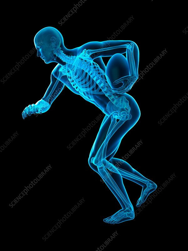 Skeletal structure of rugby player, illustration