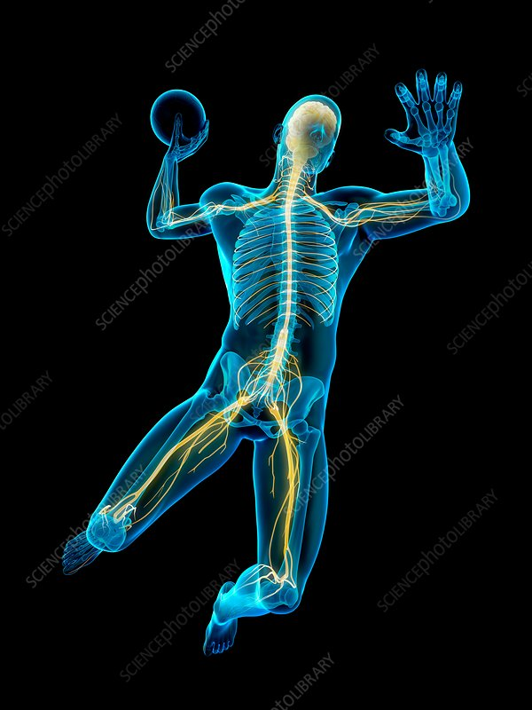 Nervous system of handball player, illustration