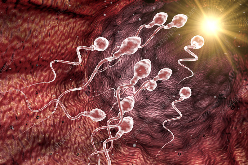 Sperm cell, illustration