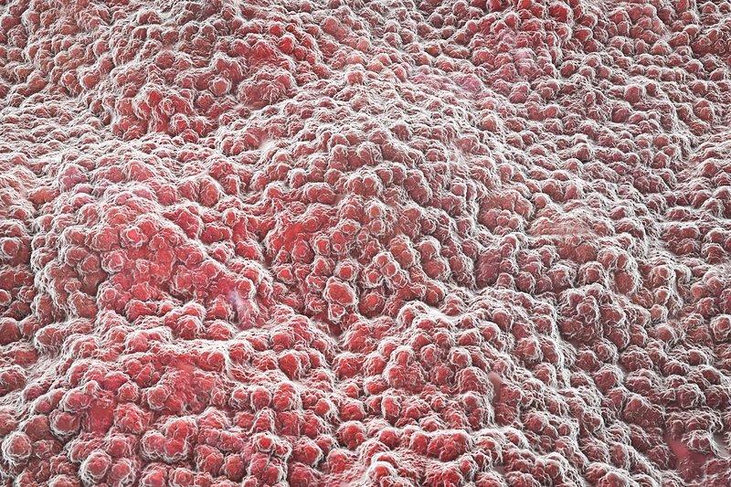 Stomach lining, illustration - Stock Image F016/8827 - Science Photo ...