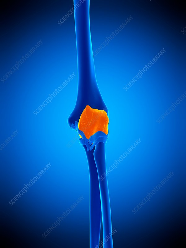 Elbow joint capsule, illustration