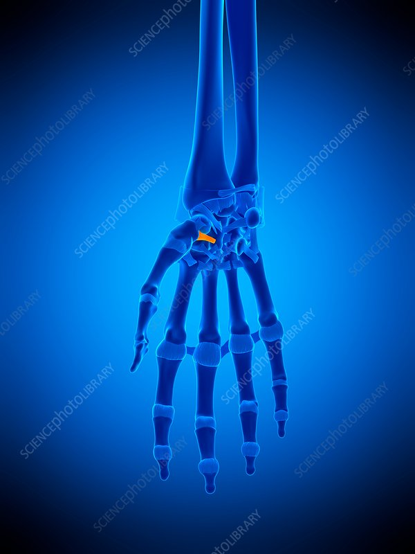 Hand ligament, illustration