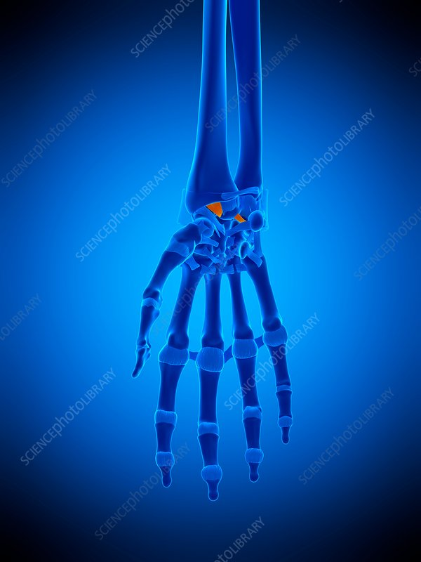 Hand ligaments, illustration