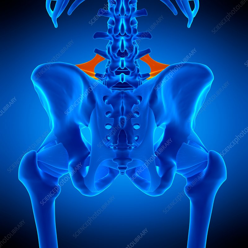 Hip ligament, illustration