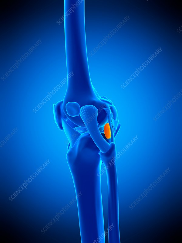 Knee bursa, illustration