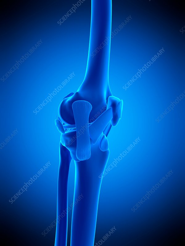 Knee ligaments, illustration