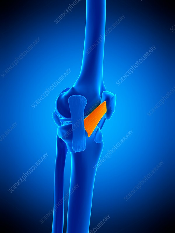 Knee ligament, illustration