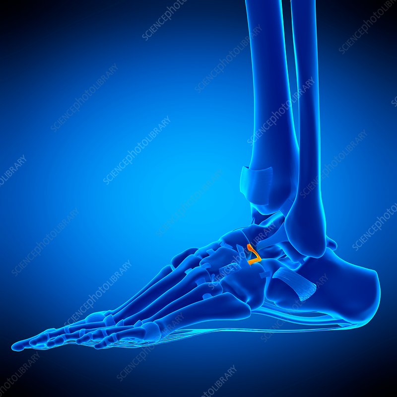 Ankle ligament, illustration