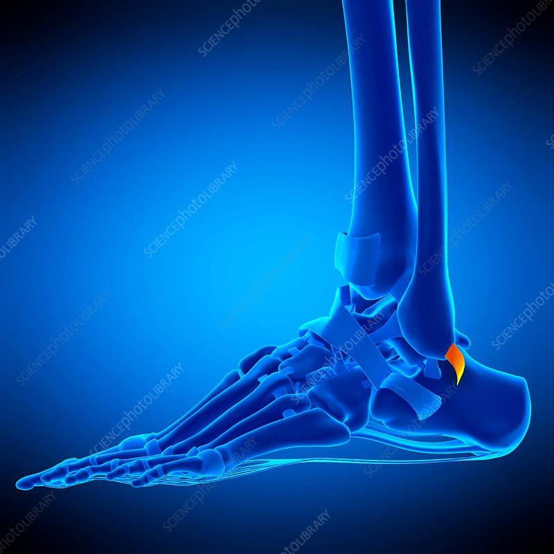 Foot ligament, illustration