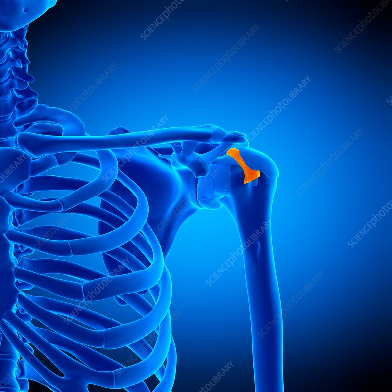 Shoulder ligament, illustration