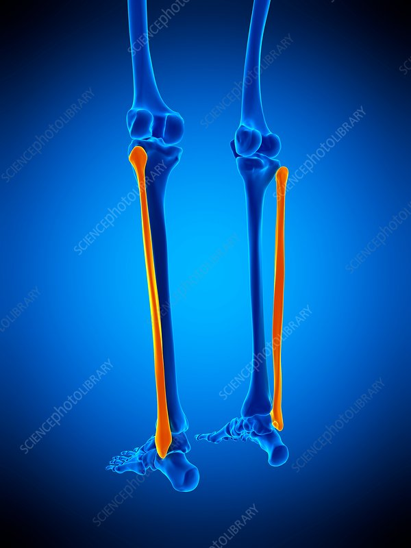 Lower leg bones, illustration