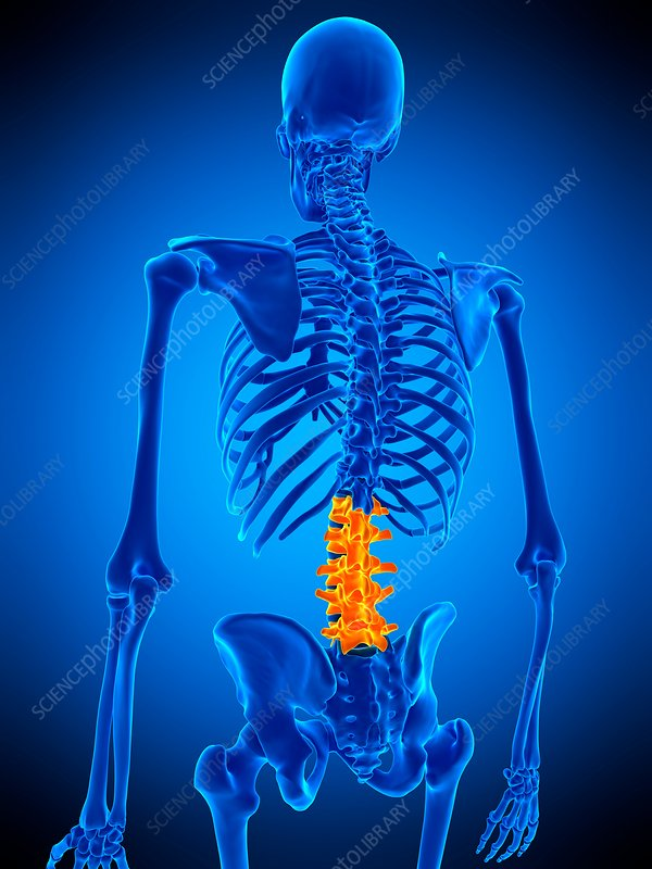 Lumbar spine, illustration