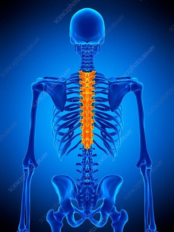Thoracic Spine Illustration Stock Image F0169139 Science