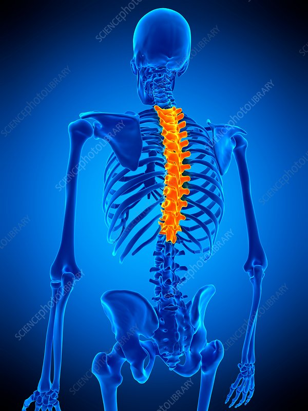Thoracic Spine Illustration Stock Image F0169140 Science Photo