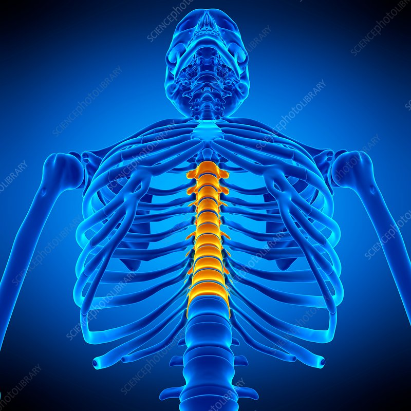 Thoracic Spine Illustration Stock Image F0169141 Science
