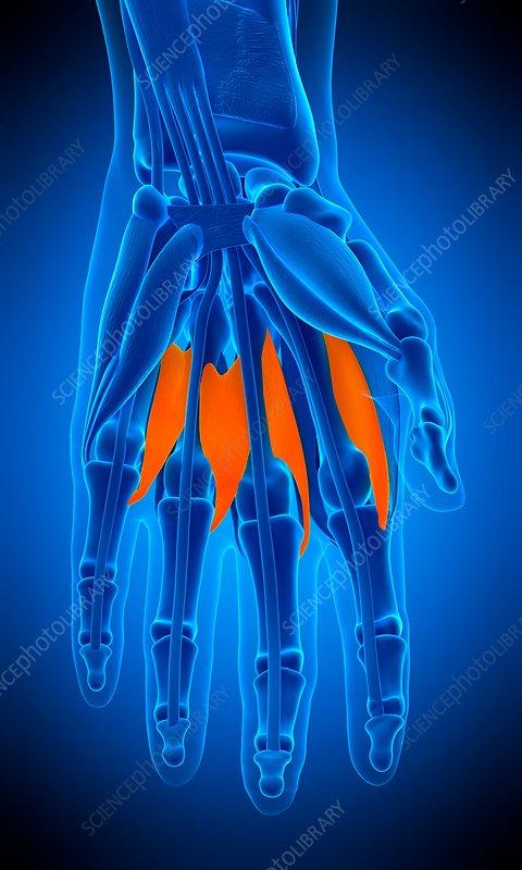 Hand muscle, illustration