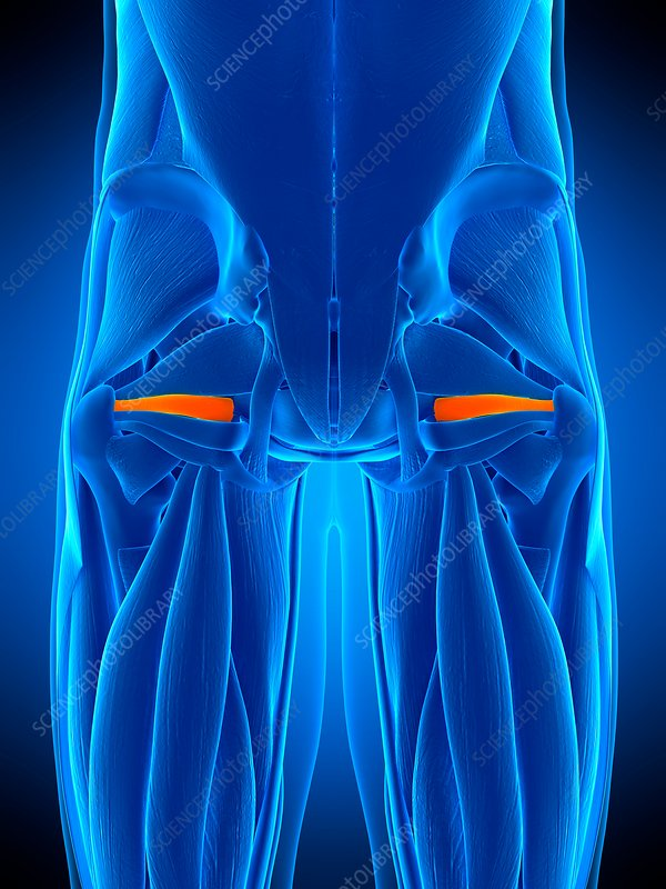 Hip muscle, illustration