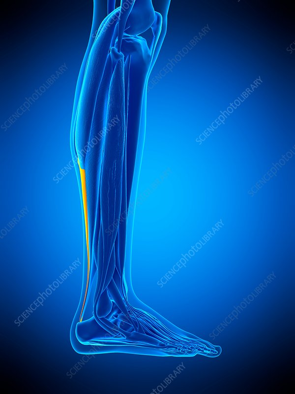 Achilles tendon, illustration