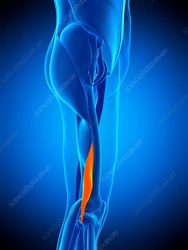 Leg muscle, illustration