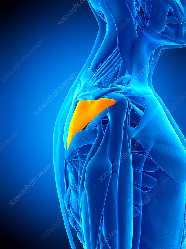 Shoulder muscle, illustration