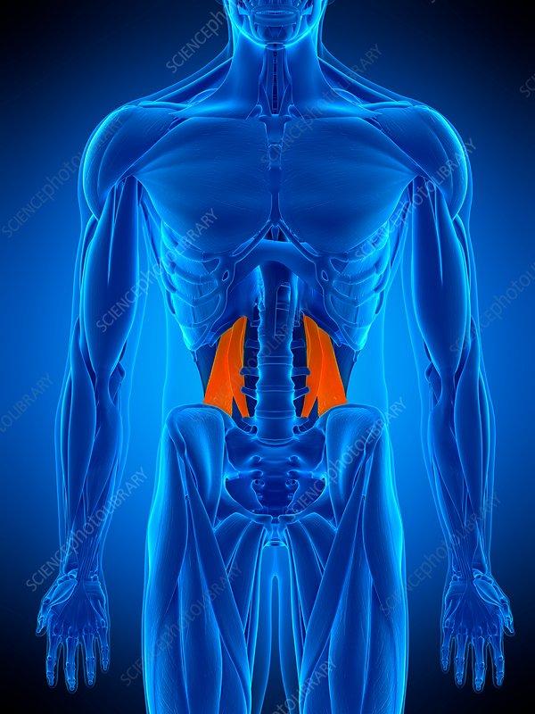 Abdominal muscle, illustration