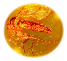 Fungus gnat in amber, macrophotograph