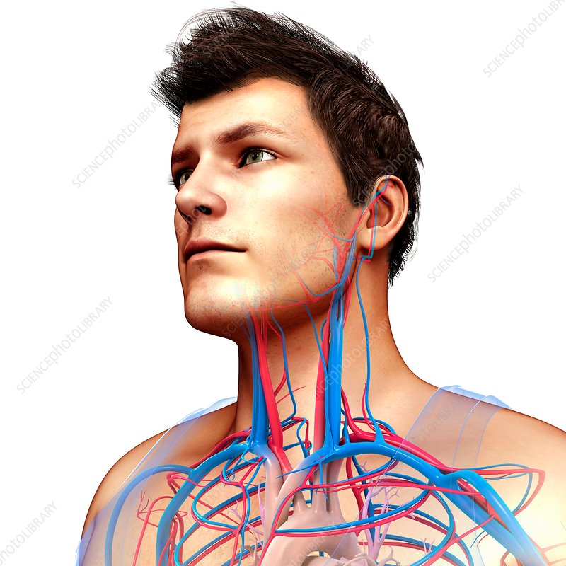 Male neck and chest blood vessels, illustration
