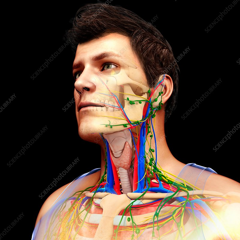 Circulatory, nervous and lymphatic systems, illustration