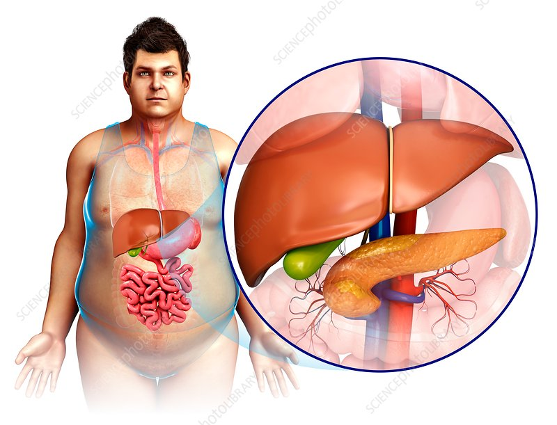 Male liver and pancreas, illustration