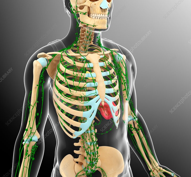 Human skeletal and lymphatic systems, illustration