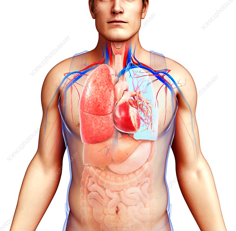 Male heart-lung system, illustration